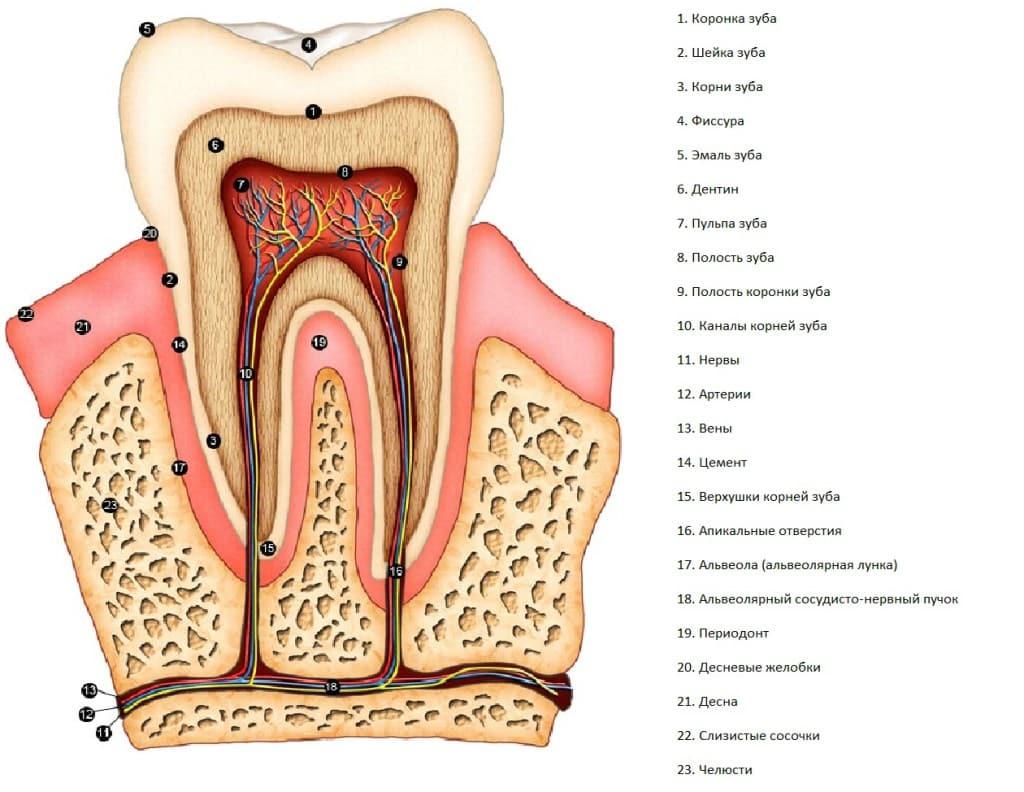 Строение челюсти человека схема