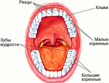Расположение зубов во рту человека