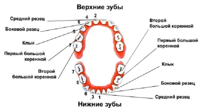 Верхние и нижние зубы