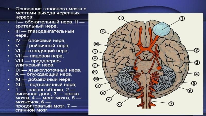 где находится тройничный нерв у человека фото