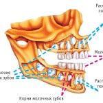Рост и развитие зубов