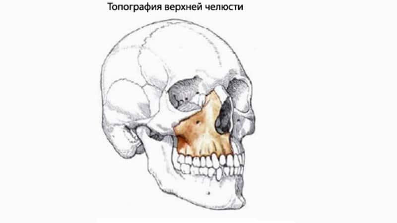 анатомия строение нижней верхней челюсти человека фото