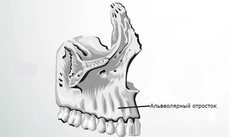 челюсть человека строение