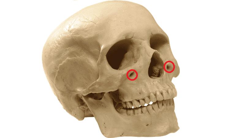 строение челюсти человека фото
