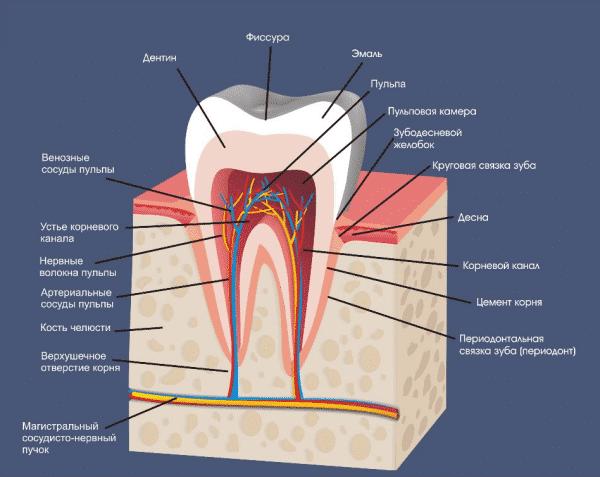 как называются зубы человека