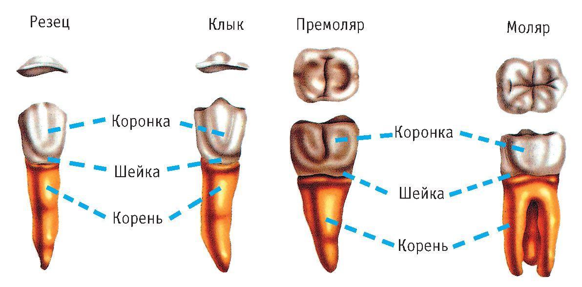 корни зубов человека фото