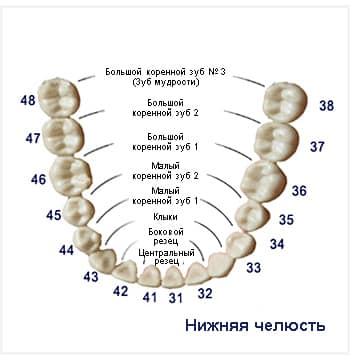 строение челюсти человека коренные зубы у взрослых