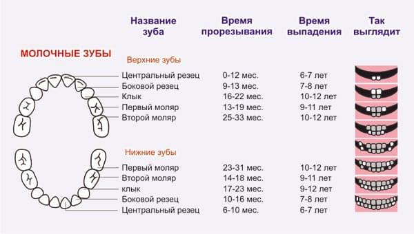 строение молочных зубов у детей