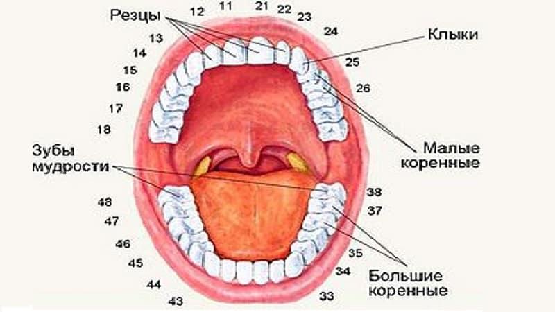 зубы человека по номерам