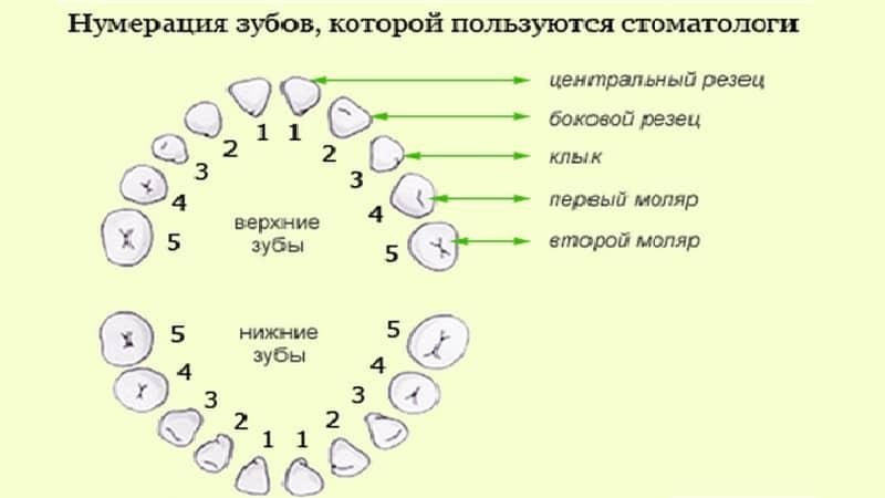 Схема зубов взрослого человека с номерами