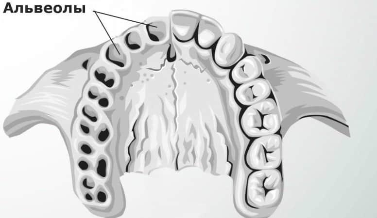 где находятся альвеолы во рту фото