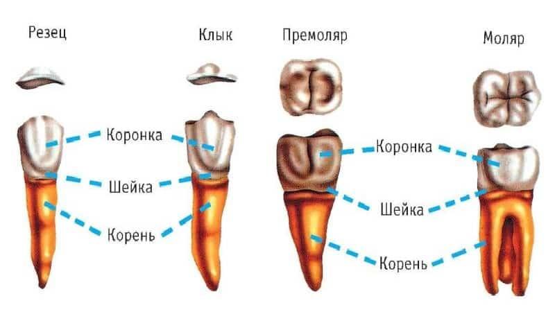 строение ротовой полости человека