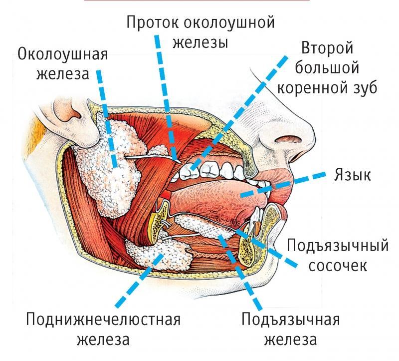 анатомия рта