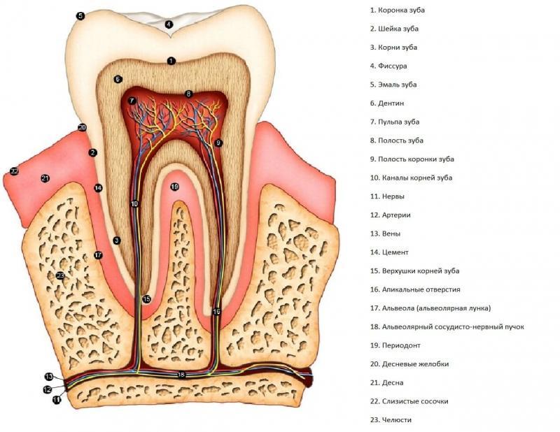 анатомия зубов человека