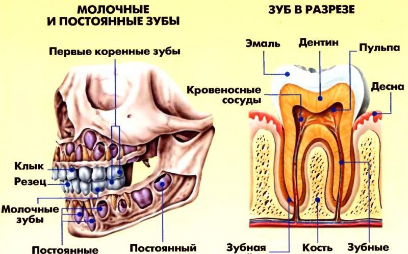 анатомия зубов верхней и нижней челюсти