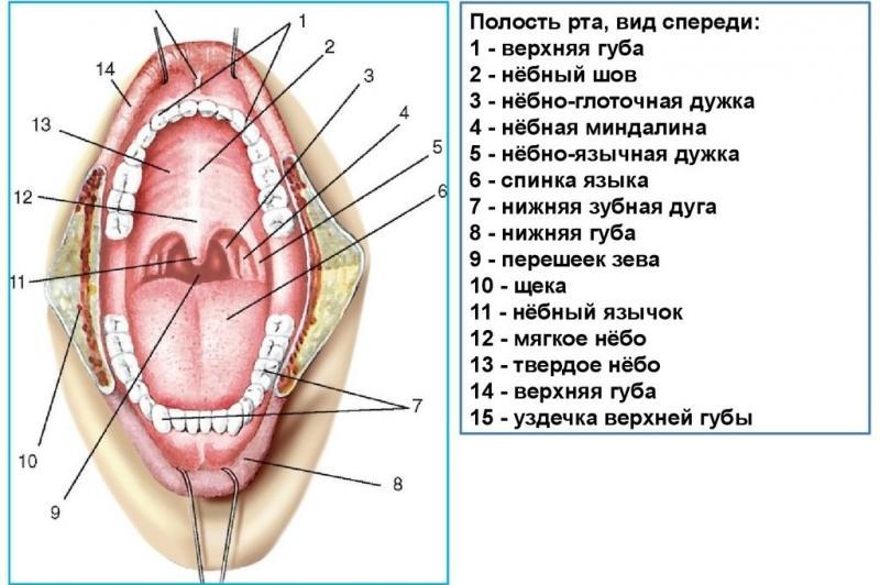 полость рта анатомия