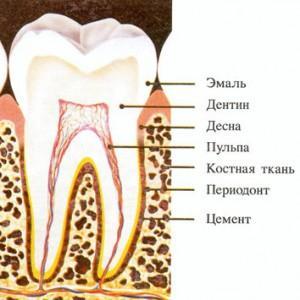 Что такое дентин: строение и функции